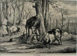 incisione-xeligrafica-su-legno-del-1880-ricerca-del-tartufo-con-lausilio-dei-maiali